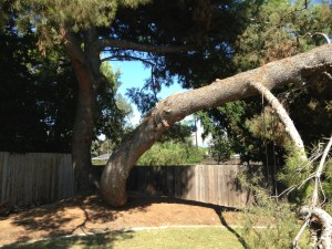 The healthy pine broke due to lack of tree trimming